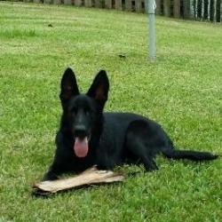 Best Black German Shepherd Puppies Harter Hund German Shepherd